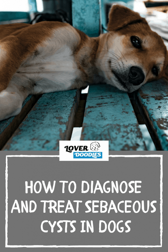 How To Diagnose And Treat Sebaceous Cysts In Dogs