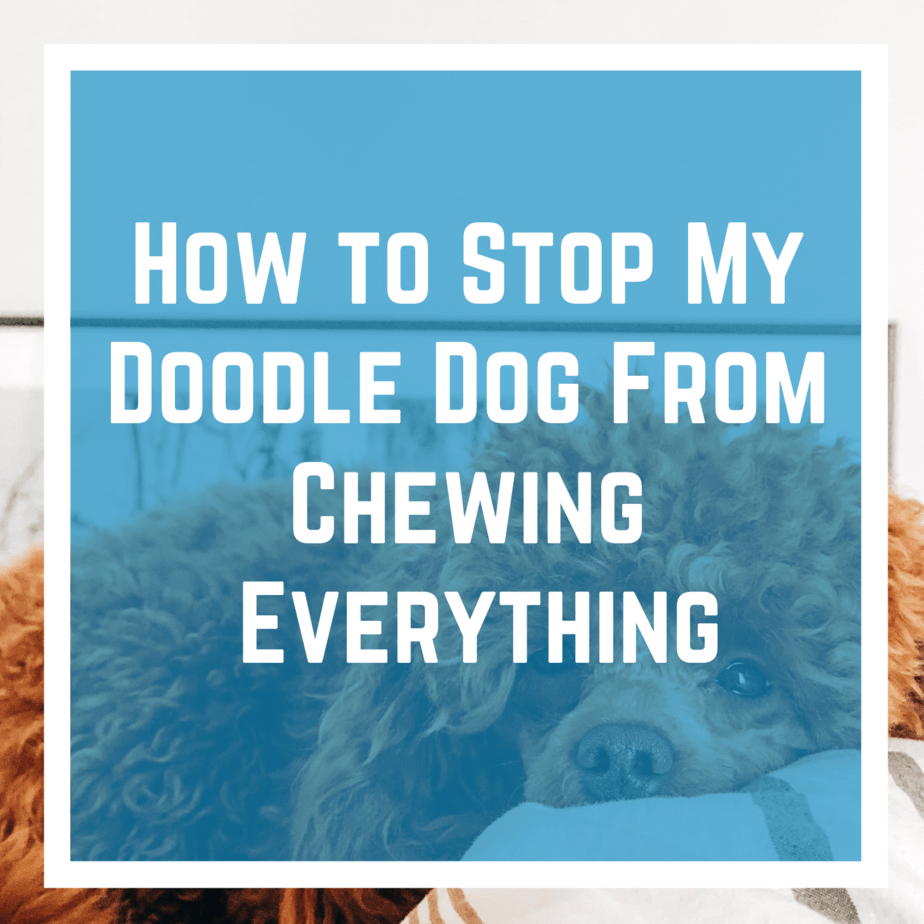 How to Stop My Doodle Dog From Chewing Everything