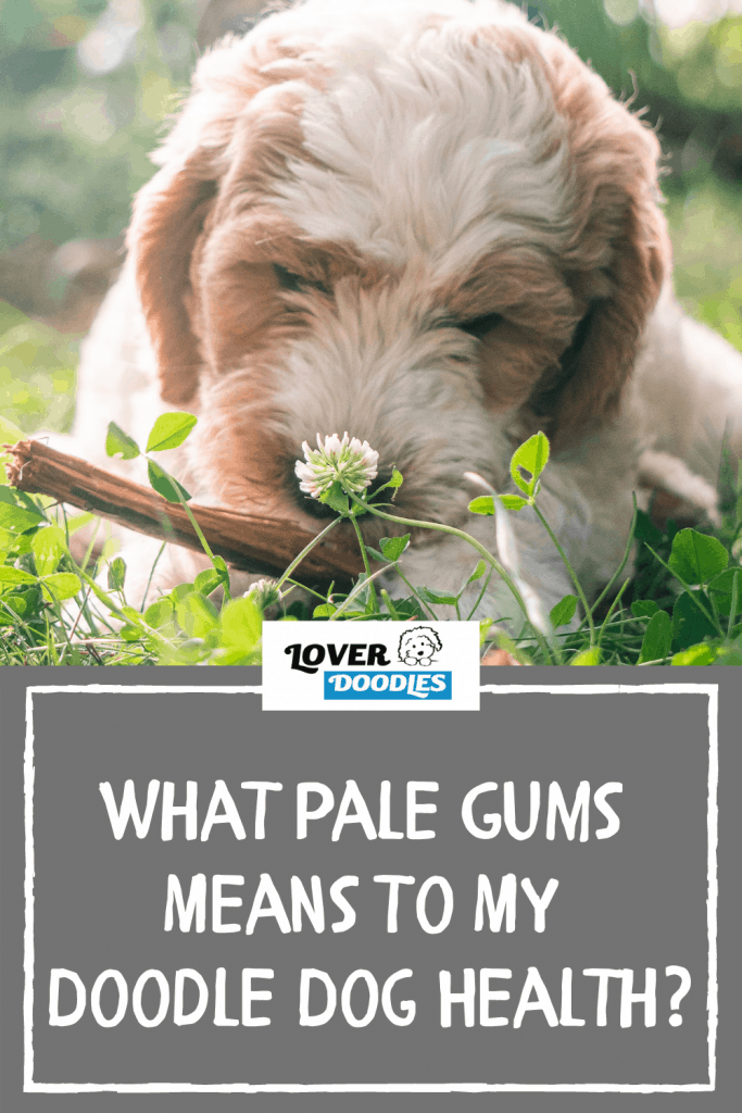What Pale Gums Means To My Doodle Dog Health?