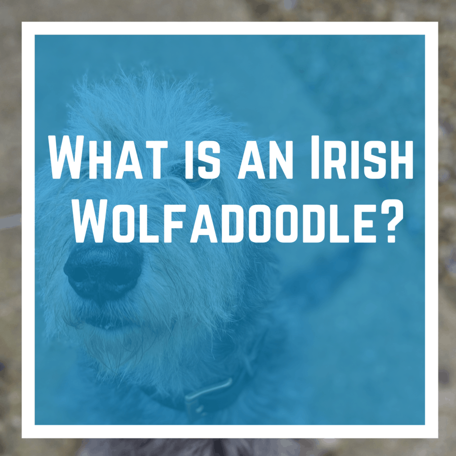 What is an Irish Wolfadoodle?What is an Irish Wolfadoodle?