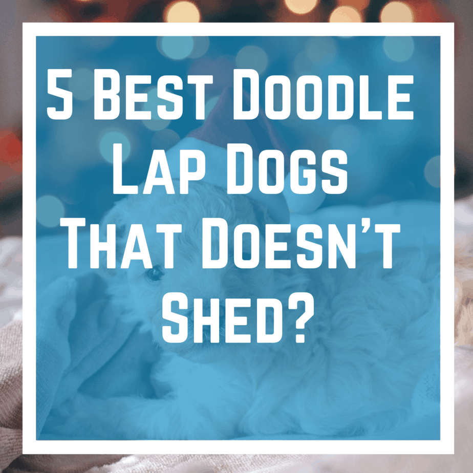 5 Best Doodle Lap Dogs That Doesn't Shed?