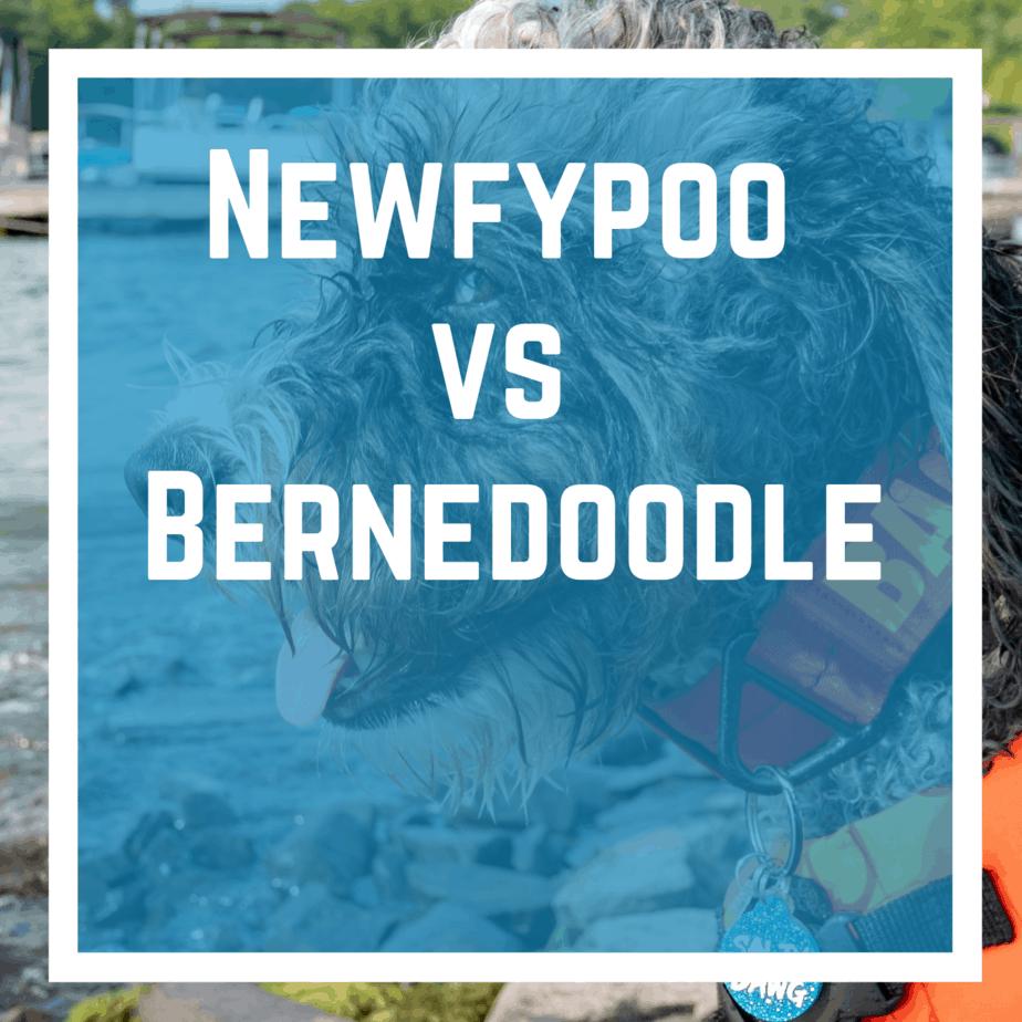 Newfypoo vs. Bernedoodle