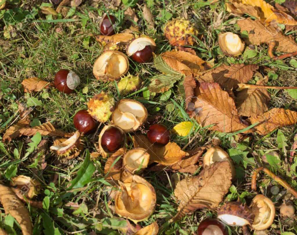 Ground Chestnuts