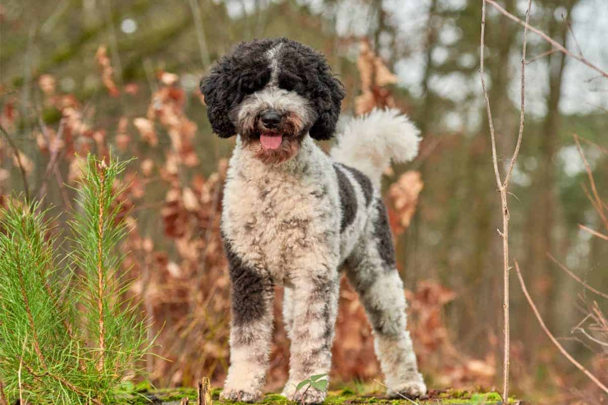 Best Labradoodle Rescue in Florida
